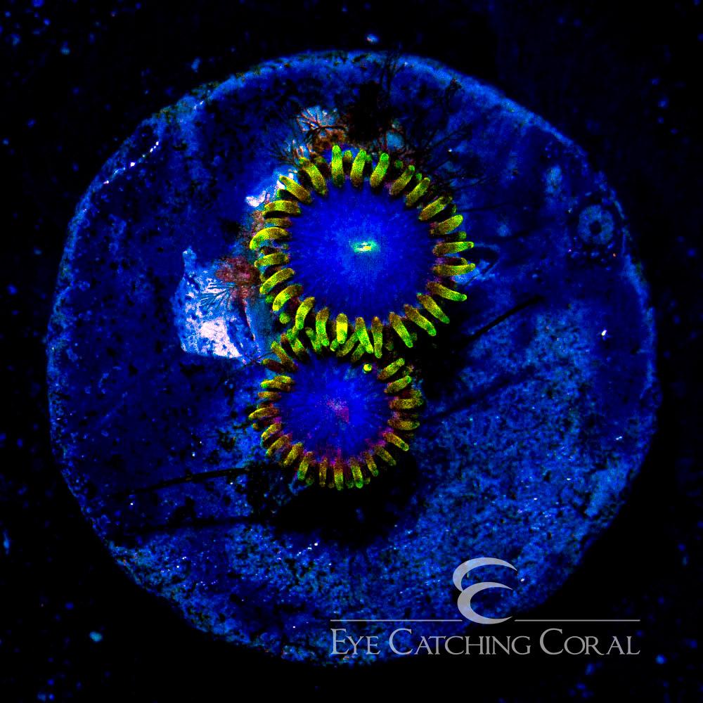 ECC Blue Phoenix Zoanthid Frag (2 Polyp Average)