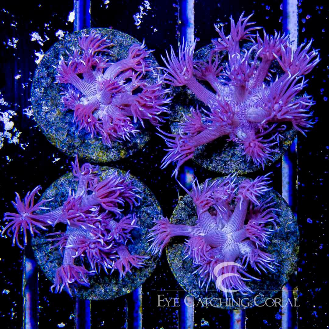 ECC Purple Taser Gonipora Frag