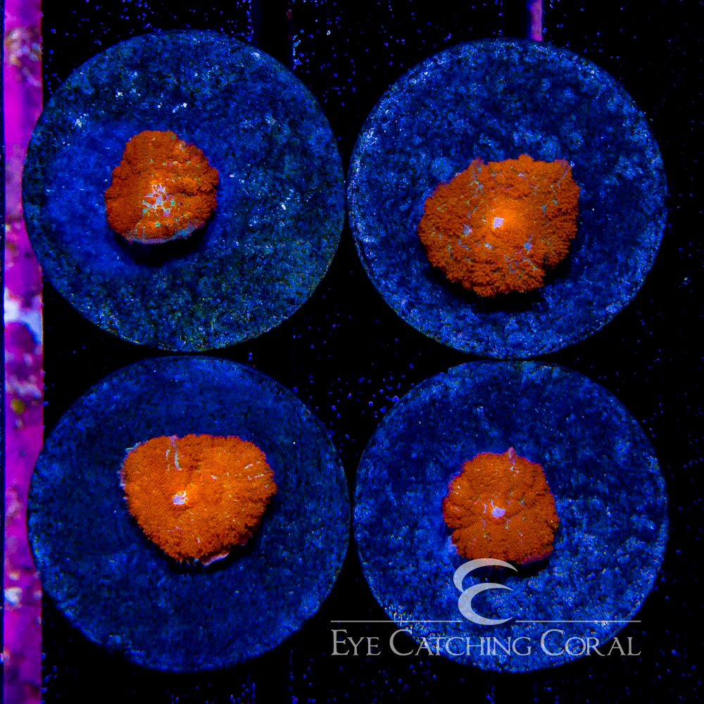 ECC The Burning Sun's Rhodactis Frag -