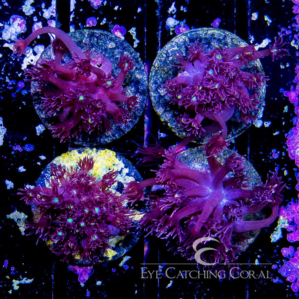 ECC Glamour Goniopora Frag