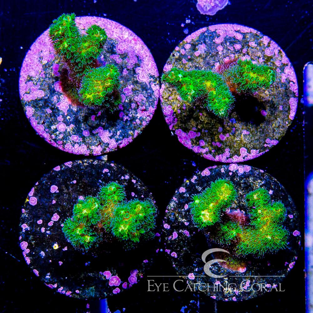 ECC Green Pocillopora Big Frag