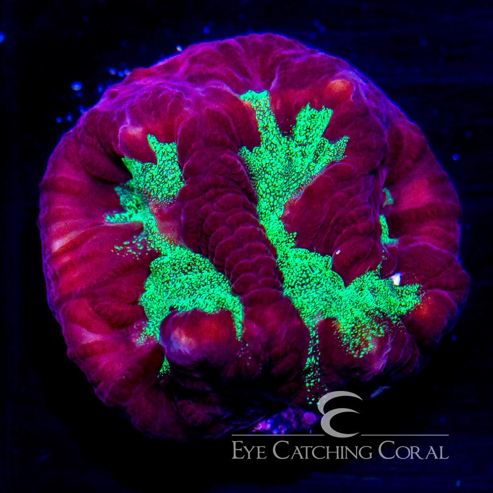 ECC Ectoplasm Favites Frag