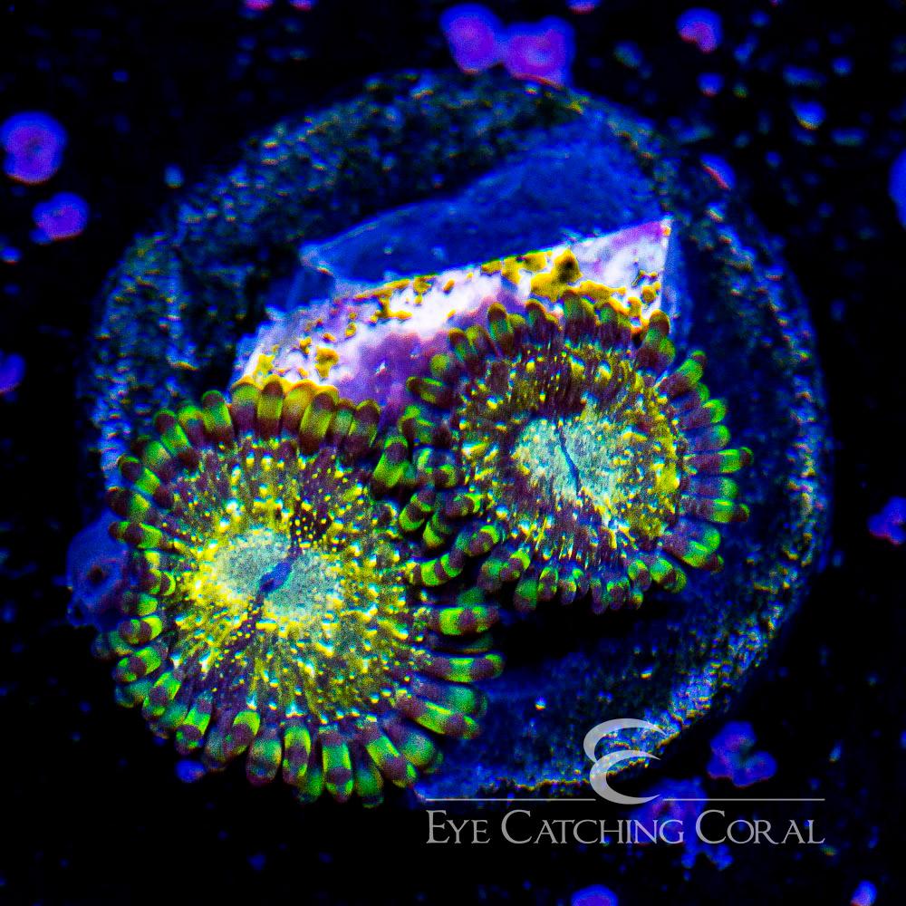 ECC Antivenom Palythoa Frag (2 Polyp Average)