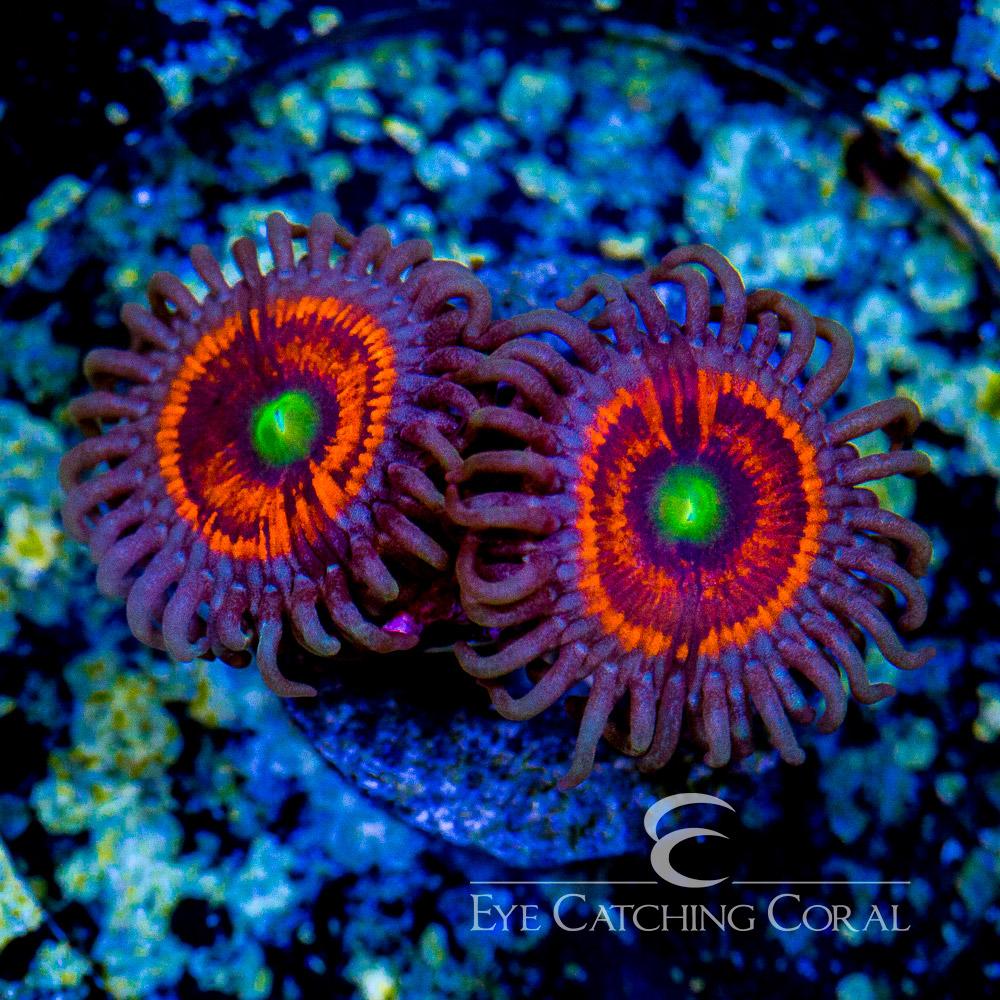 ECC Everlasting Gobstopper Palythoa Frag (2 Polyp Average)