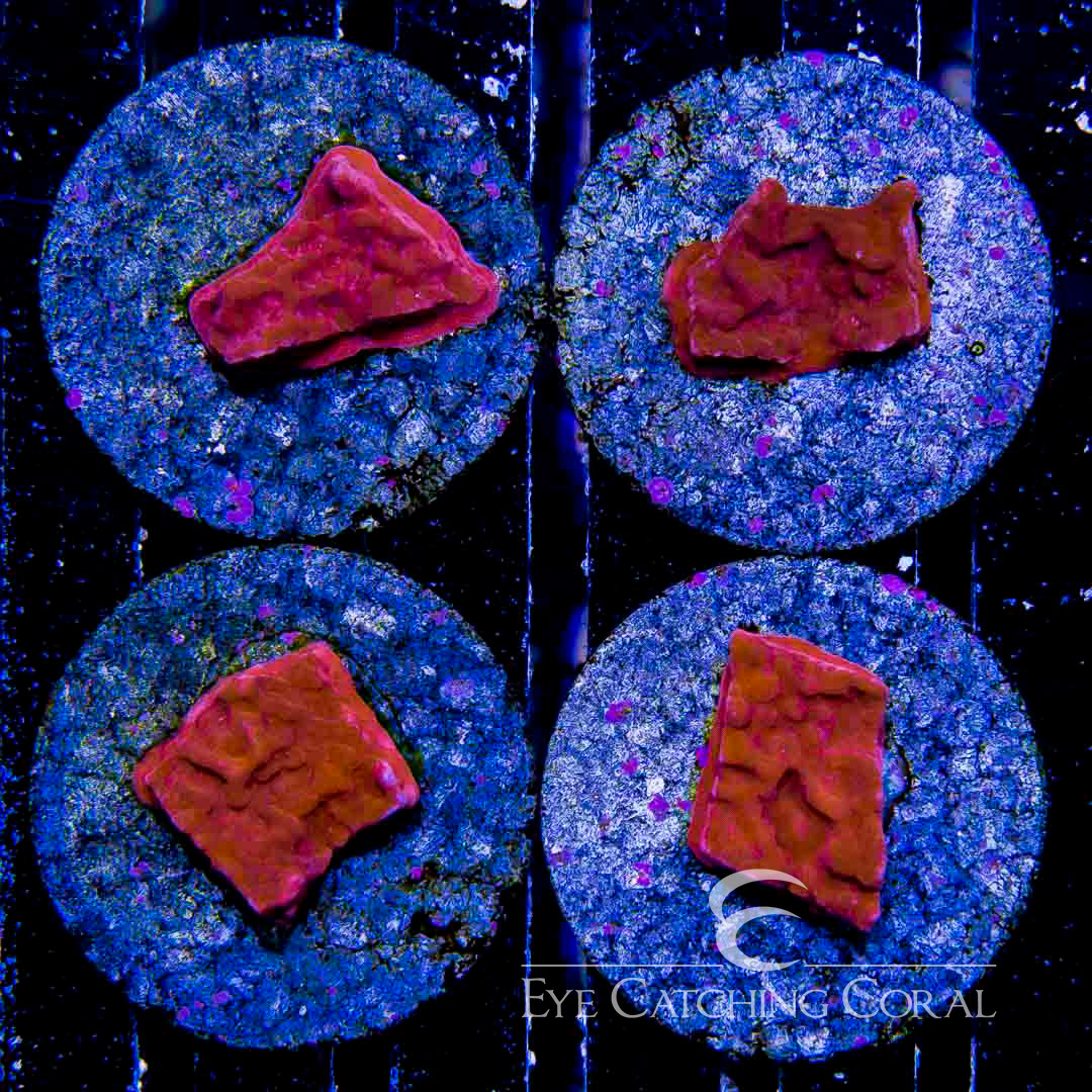 ECC Crimson Fire Montipora Frag
