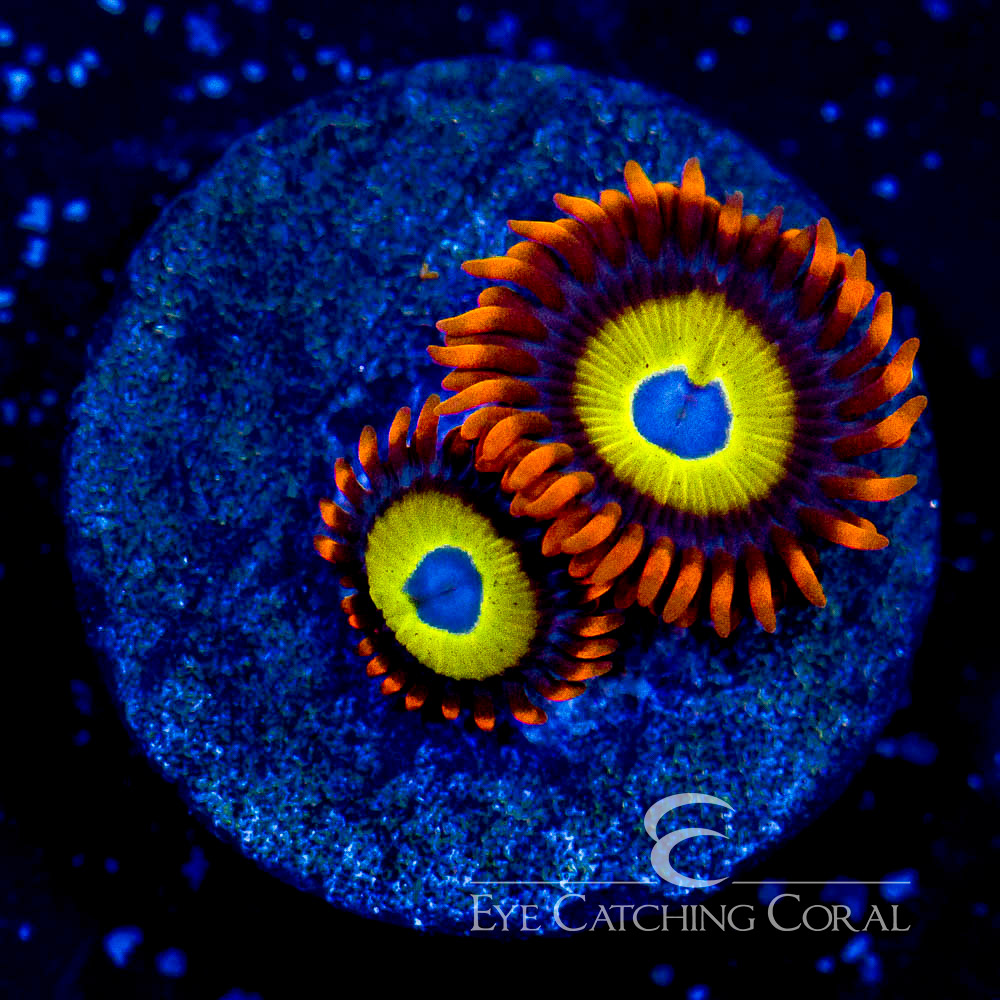 ECC Blue Eyed Blonde Zoanthid Frag (2 Polyp Average)