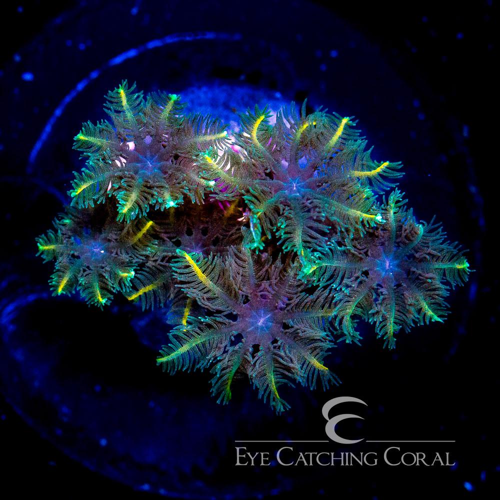 ECC Yellow Clove Polyp Frag
