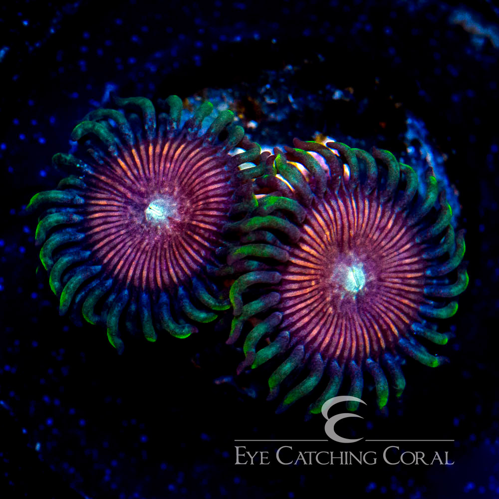 WWC Peanut Butter Cup Zoanthid Frag (2 Polyp Average) - Zoanthid sp.