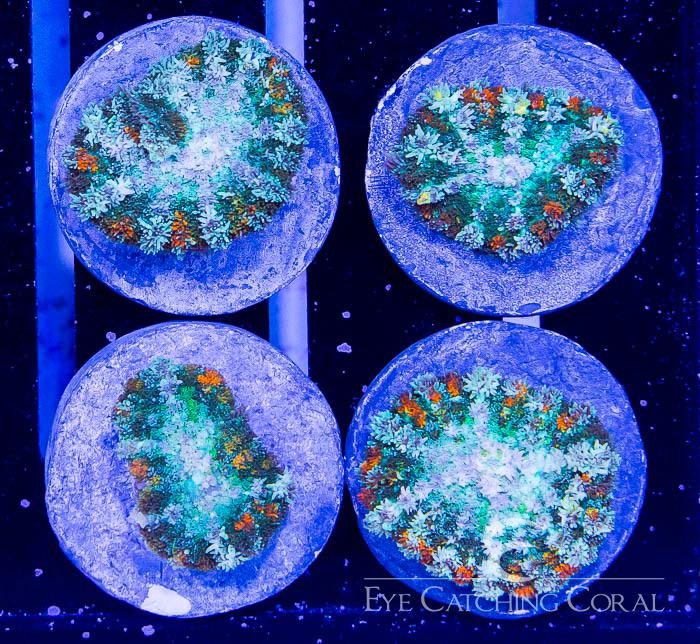 ECC Galactic Halo Mushroom