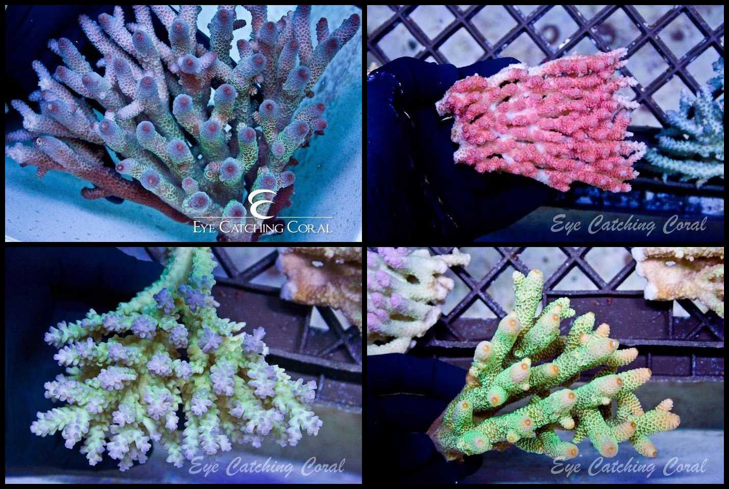 Acropora - Priced by size and color  - Acropora sp.