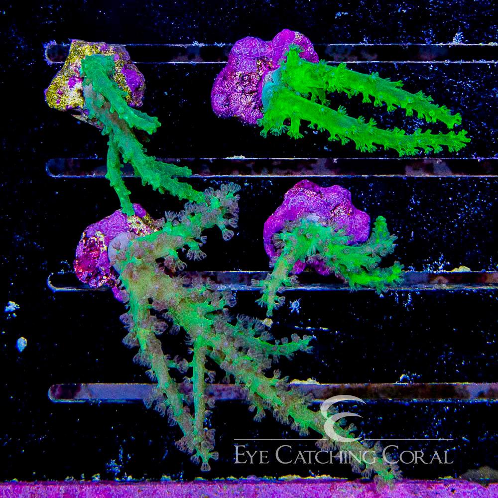 ECC Green Sinularia Frag