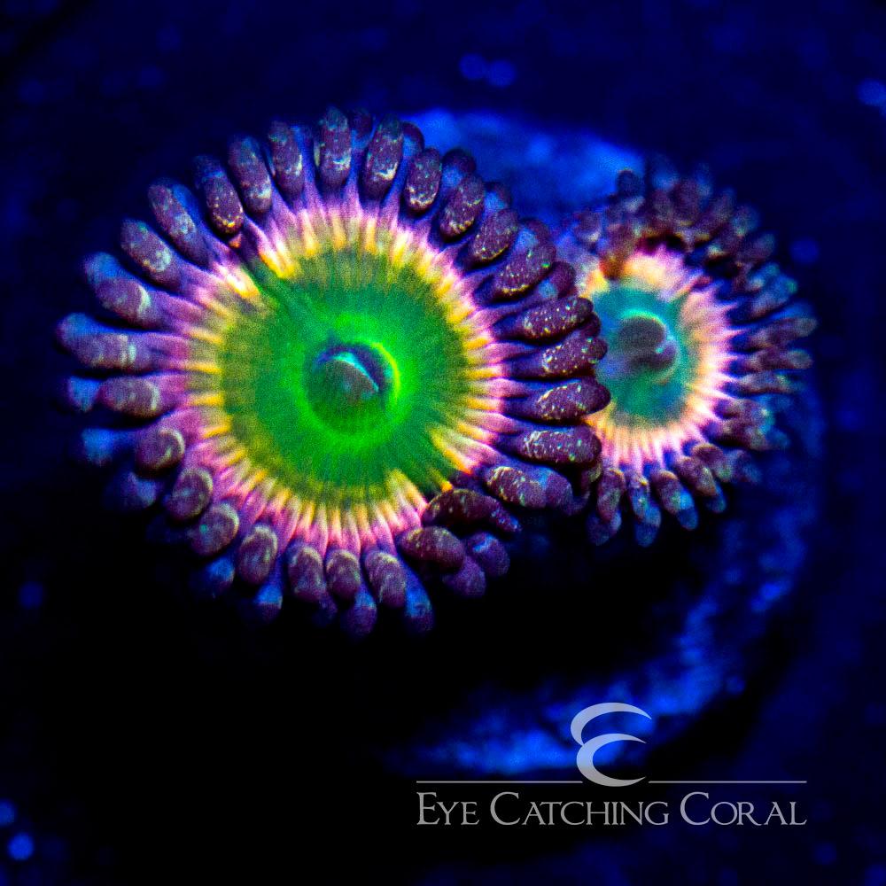 ECC Rainbow Infusion Zoanthid Frag (2 Polyp Average)