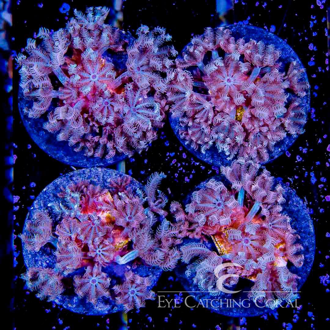 ECC Blue Anthelia Big Frag