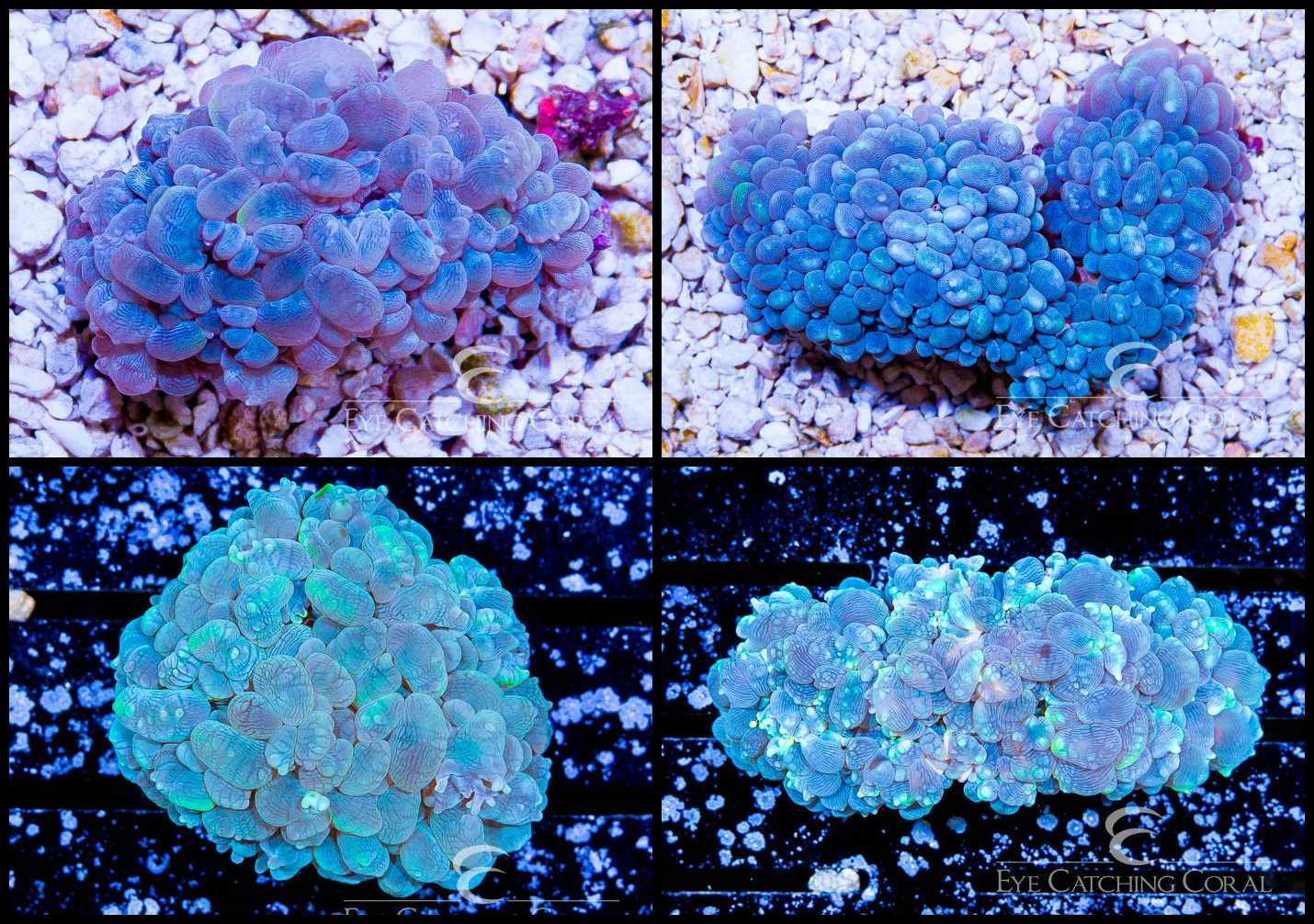 Bubble Coral Blue - Plerogyra sp.