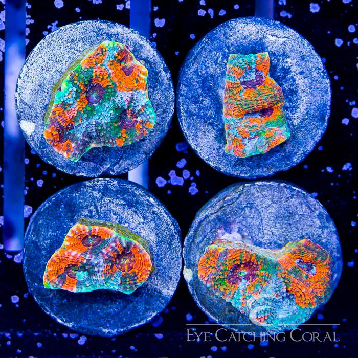 ECC Aqua illusion Echinata Frag