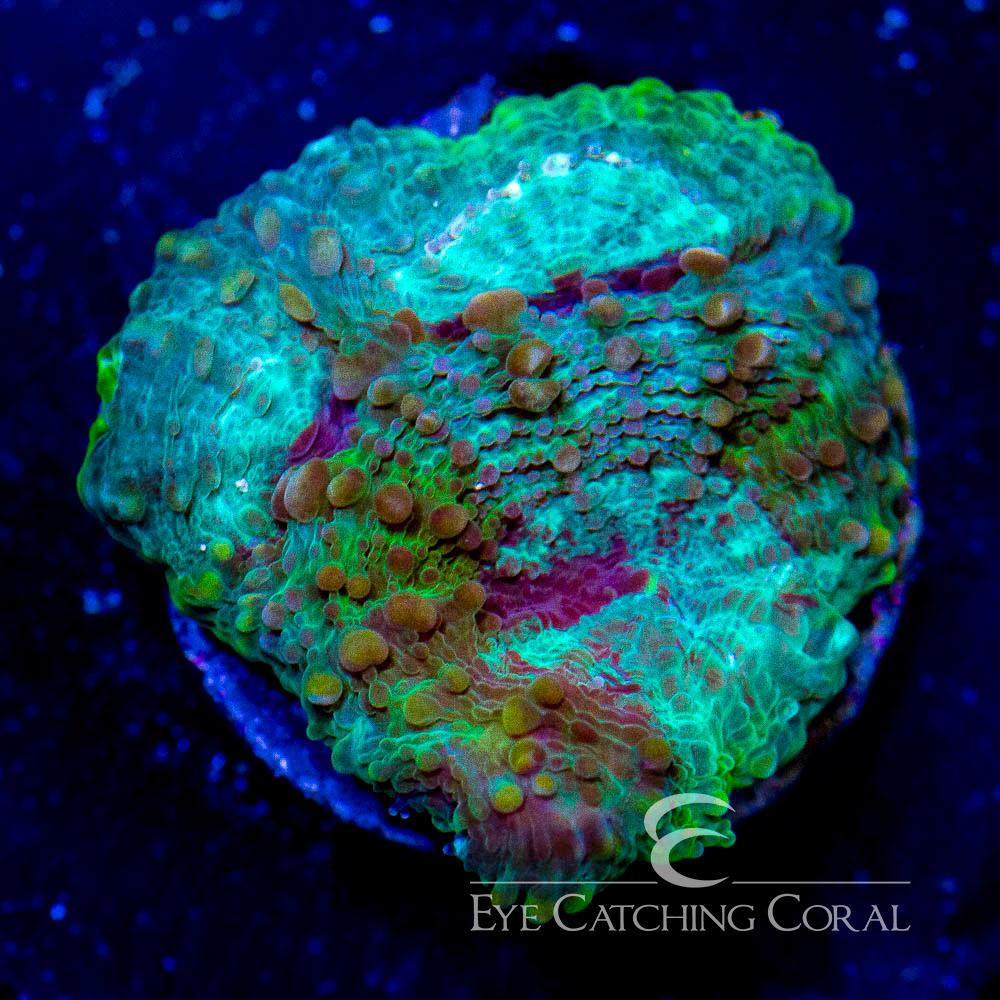 ECC Rainforest Acan Echinata Frag