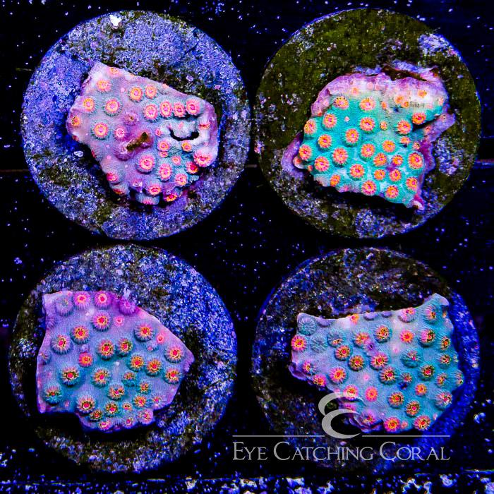 ECC Galactic Spray Cyphastrea