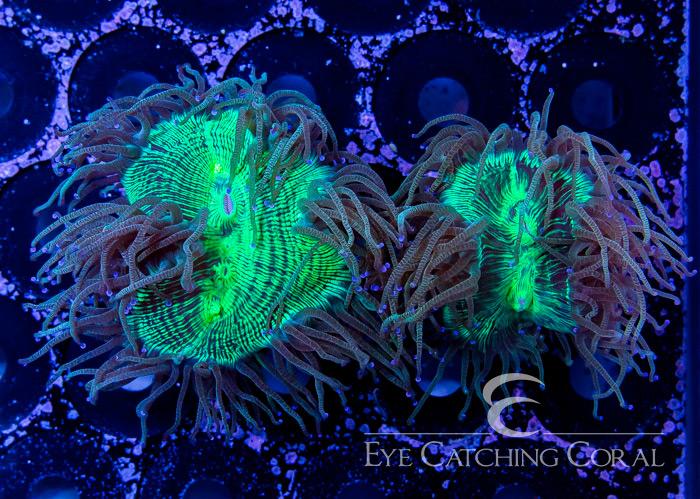 ECC Blue Tip Ultra Aussie Elegance Frag