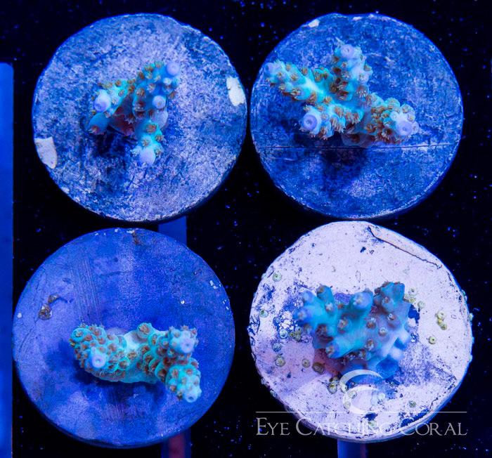 ECC Blue Man Acro Frag